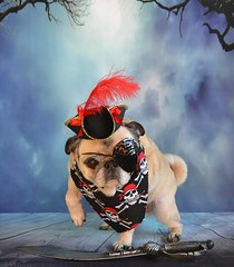 Keep Your Paws Off My Sword! (DaPuglet) Tags: pug pugs dog dogs animal animals pet pets pirate costume halloween sword funny cute lol pirates coth5 alittlebeauty