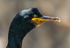 Green eyes blend with nature. They are natural and suggest life appreciated and a oneness with nature ~Brent M. Jones~ (Lorrainemorris) Tags: cormorant ireland europeanshag headshot portrait closeup zeiss gmaster 70200 bokeh beak yellow bird birdportrait black island salteeisland wexford lorrainemorris sony7rm2 sonyilce greeneyes green shag nature