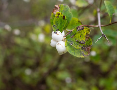 A Touch of White (Clif Budden) Tags: 2018 bowringpark canada environment nl nature newfoundland october outdoors stjohns
