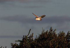 Barn Owl At Dawn (Steve (Hooky) Waddingham) Tags: stevenwaddinghamphotography animal amble countryside coast bird british barn nature northumberland wild wildlife prey owl