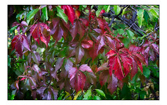Colorful Foliage (Terry L. Olsen) Tags: leaves ononesoftware closeup newmexico