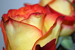 Yellow Roses. (dccradio) Tags: lumberton nc northcarolina robesoncounty indoor indoors inside rose roses flower floral flowers pretty beauty beautiful nature yellow orange red bouquet october tuesday evening autumn fall wall nikon d40 dslr
