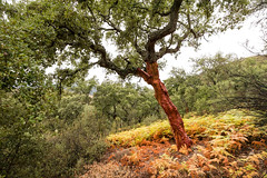 R18_0336 (ronald groenendijk) Tags: cronaldgroenendijk 2018 rgflickrrg copyrightronaldgroenendijk corkoak extremadura kurkeik landscape nature natuur natuurfotografie oak outdoor spain spanje tree wood