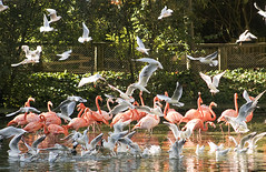 Food fight (Gill Stafford) Tags: gillstafford gillys image photograph england chester zoo cheshire conservation bird flamingo pink gulls blackheadedgulls food fight