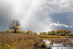 Silver Lining (Gary Grossman) Tags: storm clouds sunstreaks sunrays rays pond wetlands landscape oregon autumn fall sauvie northwest colors garygrossmanphotography pacificnorthwest sauvieisland marsh corn farm farming agriculture