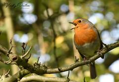 Robin happily singing (vickyouten) Tags: robin robinredbreast nature wildlife nikon nikond7200 leightonmoss rspbleightonmoss burscough uk vickyouten