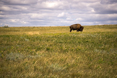 Wilderness (dayman1776) Tags: bison north dakota america west western state buffalo nature prairie grassland animal wild cloudy telephoto sony a6000 one alone lonely old