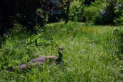 Indian peafowl (Pavo cristatus)  -  (Selected by GETTY IMAGES) (DESPITE STRAIGHT LINES) Tags: nikon d7200 nikond7200 nikkor1024mm nikon1024mm getty gettyimages gettyimagesesp despitestraightlinesatgettyimages paulwilliams paulwilliamsatgettyimages rome roma romeitaly indianpeahen indianpeafowl bluepeafowl pavocristatus animalia chordata aves galliformes pavo bird animal nature