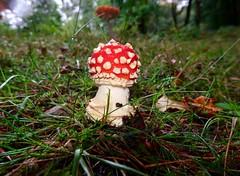 Fly Agaric, Blaen Bran, Upper Cwmbran 23 September 2018 (Cold War Warrior) Tags: agaric cwmbran fungus fungi toadstool blaenbran mushroom