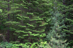 Forest Green (rochpaul5) Tags: adk adirondack spruce woods pine forestry