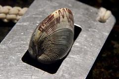 Measuring the Clam (brucetopher) Tags: macromondays measurement clam quahog hard shell clamming beach littleneck cherrystone stainlesssteel steel macro metal gauge measure tool device
