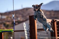 GSP Air Retrieve (fwisneski) Tags: nikon high desert dog sports