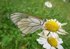 Black Veined White. Aporia crataegi (gailhampshire) Tags: black veined white aporia crataegi taxonomy:binomial=aporiacrataegi