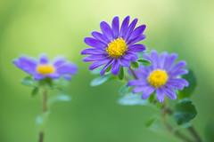 aster 6261 (junjiaoyama) Tags: japan flower aster plant purple yellow autumn fall bokeh macro