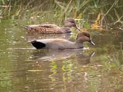 Gadwall_pair (Birdman of Beaverton) Tags: gadwall oregon sx50