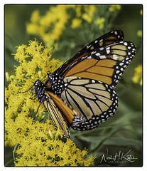 Butterflys in Love_DSC7022 photoshop NIK edit © (nkatesphotography) Tags: bombayhookwildliferefuge smyrnade nikond5 tamron150600mmg2 nikonsu800 nikonsb5000speedlights flowers gardens nature macro closeupphotography butterflies moths