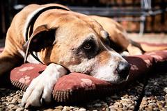 Faithful old lady (iamunclefester) Tags: westerheim dog watchdog faithful old lady tiles paw true loyal rest