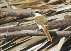 brown shrike (aneeshpandian) Tags: brownshrike shrike