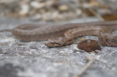Coronelle girondine (pauline.duflos) Tags: coronnelle girondine serpents reptiles coronella girondica dordogne biodiversity snakes