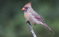 Northern Cardinal female (Yer Photo Xpression) Tags: 2018 animal bird forsyth georgia ivyshaw northerncardinal places ronmayhew canoneos70d watcher