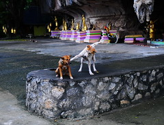 ,, Silly Hooligans ,, (Jon in Thailand) Tags: dogs dog mrdj angeleyes templedogs mrbtp green pink purple red yellow brown k9 k9s 3dogs jungle themonkeytemple statue gold cave goldenbells chickens bigchicken rockwall littlechickens nikon nikkor d300 175528 thehooligans dogtail happydogs dogexpression dogears dogplaying dogpaws littledoglaughedstories