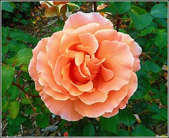 Lovely Pink Rose .. (** Janets Photos **) Tags: uk roses flowers plants flora nature closeups macro pink