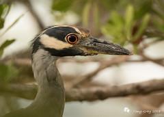 Yellow Crowned Night Heron (Tony CC Gray) Tags: yellowcrownednightheron birds tonygray canon floridakeys knightskey marathon florida