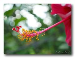 Pollen and bokeh. (natureflower) Tags: pollen hibiscus red mygarden flower bokeh malvaceae