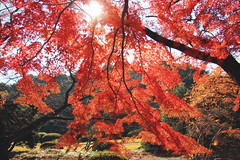 Behind Red (arbivi) Tags: autumn fall foliage koyo momiji japanese maple tree red orange shinjukugyoen shinjuku park tokyo japan canon 60d tamron arbivi raymondviloria