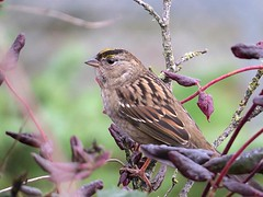 Gold-crownedSparrow (Shelley Penner) Tags: birds vancouverisland song sparrow songbirds goldcrowned