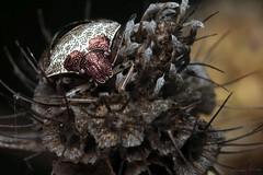 Eysarcoris venustissimus - 14 X 2018 (el.gritche) Tags: heteroptera france 40 garden pentatomidae eysarcoris venustissimus eysarcorisvenustissimus