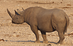 Black rhino 2 (nisudapi) Tags: 2018 africa namibia etosha etoshanp nationalpark animal wildlife rhino blackrhino rhinoceros horn