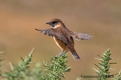 Stonechat on tiptoe (ammonite 1) Tags: stonechat open wings gorse ben hope