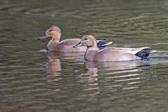 Gadwall (drbut) Tags: gadwall anasstrepera waterfowl dabblingduck water bird birds lakes wildlife nature canonef600f4lisusm