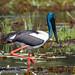 Black-necked Stork, Female