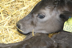 New  Life  8 days Old (excellentzebu1050) Tags: newlife newborn calf farm birth born animal livestock indoors animalportraits closeup coth