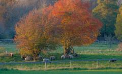 Rowan (RdeUppsala) Tags: serbal sorbus tree träd árboles sheep får ovejas landscape landskap paisaje otoño höst autumn uppland uppsala sverige suecia sweden sunset atardecer solnedgång rönn rowan hågadalen ricardofeinstein