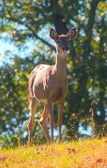 IMG_2277 (sally_byler) Tags: whitetailed deer ohio outdoors outside country rural appalachia doe autumn fall