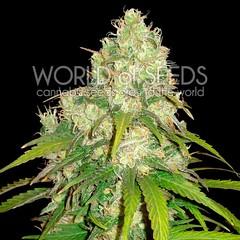 Unknown (Watcher1999) Tags: kush afghan cannabis seeds indica hindu strain weed medical marijuana growing cannaculture plant smoking weeds ganja legalize it