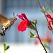 sphinx colibri... Sphinx hummingbird... #darktable #Digikam #NikonD7000