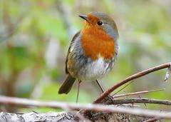 Robin (eric robb niven) Tags: ericrobbniven scotland robin wildlife wildbird nature tentsmuir morton loch lochs dundee springwatch