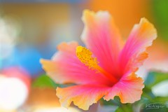 colorful (Hibiscus bloom) (Veitinger) Tags: colorful bunt farbenfroh farbe farben color colors helios helios442 blüte bloom blossom pink yellow gelb natur nature blume flower sony veitinger bokeh ngc pixoom