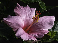 Early Morning Pink Hibiscus In The Light (Bill Gracey 23 Million Views) Tags: fleur flower flor hibiscus light lighting offcameraflash softbox lastoliteezbox yongnuo yongnuorf603n garden lakeside sidelighting colors textures ambientlight floralphotography
