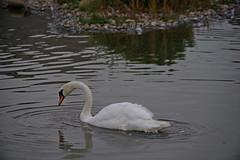 1508-11L (Lozarithm) Tags: slimbridge wwt swans k1 55300 hdpda55300mmf458edwr