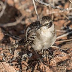 Galapagos Mockingbird [Mimus parvulus] (Fred Roe) Tags: nikond810 nikkorafs80400mmf4556ged nature wildlife birds birding birdwatching birdwatcher mockingbird galapagosmockingbird mimusparvulus galapagos