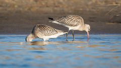 Bar-tailed godwit (JS_71) Tags: nature wildlife nikon photography outdoor 500mm bird new autumn see natur pose moment outside animal flickr colour poland sunshine water sea sand beach godwit bartailed