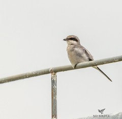 Loggerhead Shrike (AnthonyVanSchoor) Tags: anthonyvanschoor maryland usa