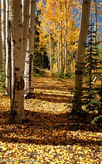 The Golden Trail (OJeffrey Photography) Tags: aspentrees aspen golden forest trail fallcolors fallcolor fall fallenleaves co colorado rockymountains coloradorockymountains pano panorama ojeffreyphotography ojeffrey jeffowens nikon d850