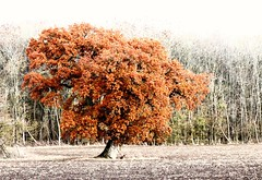 Lone oak (phileveratt) Tags: englishoak quercusrobur tree wood field canon eos77d efs18135