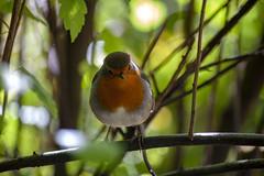 Robin (Rich Jacques) Tags: robin erithacusrubecula bird wildlife nature sheffield botanicalgardens september 2018 canon eos450d naturephotography